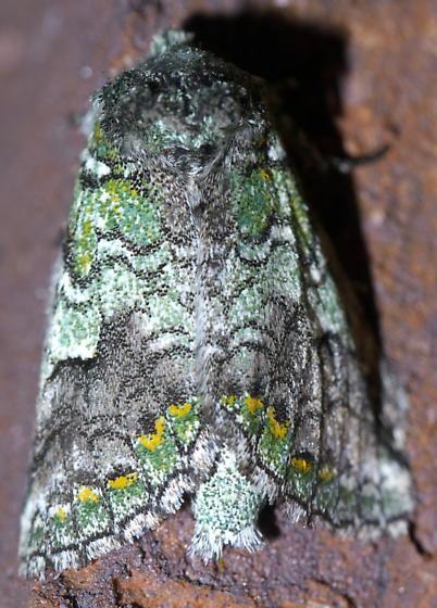 Green, gray, and yellow moth - Litodonta hydromeli