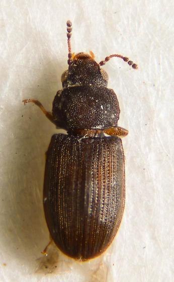 LRB (little round beetle) - Lathropus robustulus
