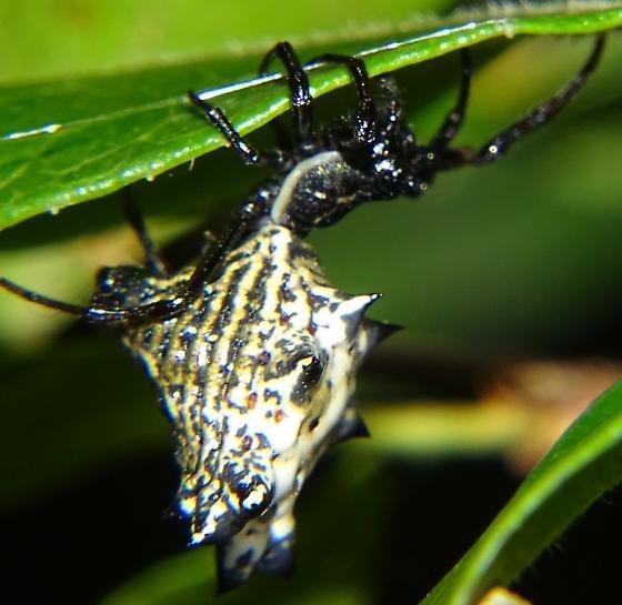 Spider in Covington Georgia - Micrathena gracilis