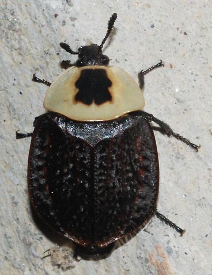 Beetle? - Necrophila americana