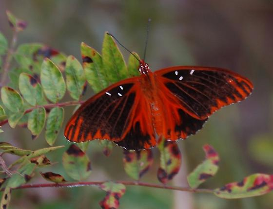 Unknown Butterfly 1 - Agraulis vanillae