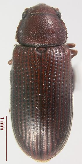 Odontosphindus clavicornis