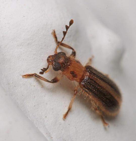 Beetle for ID - Cregya oculata