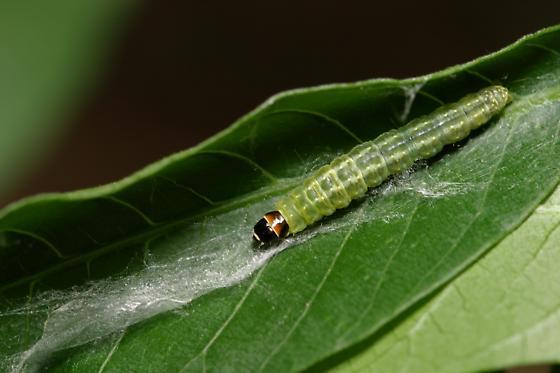 Leaf Rolling Caterpillar