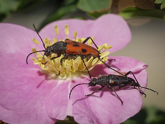 Anastrangalia laetifica? - Anastrangalia laetifica - male - female