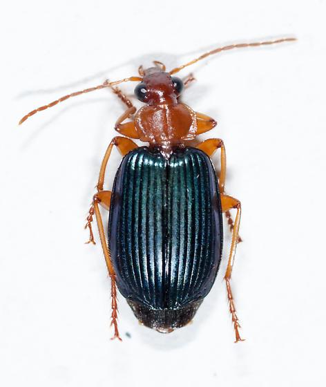 Carabidae - Lebia grandis