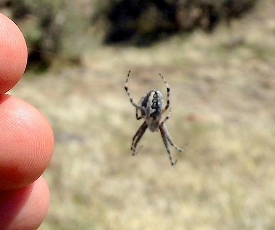 Northern NV web spider - Aculepeira