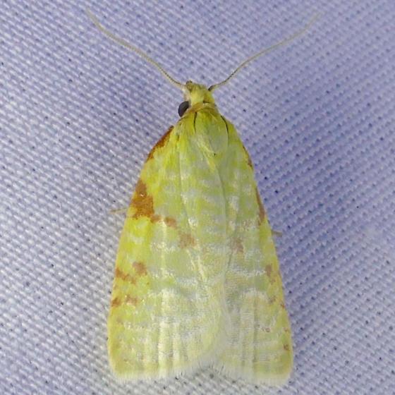 Maple-Basswood Leafroller - Cenopis pettitana