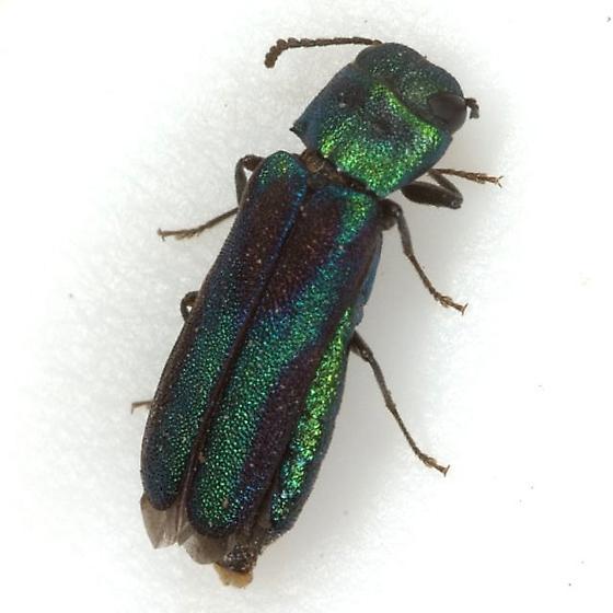 Xenorhipis hidalgoensis Knull - Xenorhipis hidalgoensis - female
