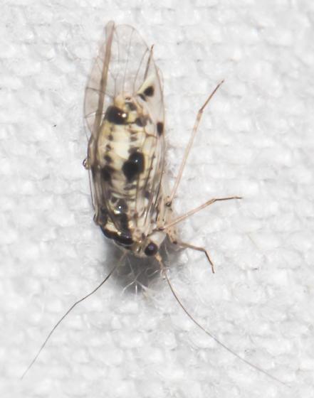 2018-10-07 Black-spotted barklouse - Psocus leidyi