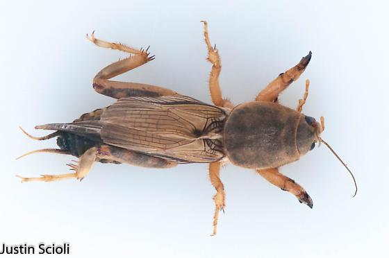 Neoscapteriscus sp? - Neoscapteriscus vicinus