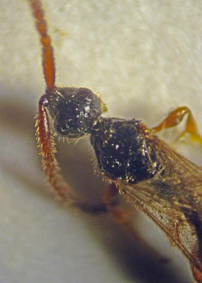 Hymenoptera - Diapriidae? - Belyta - female