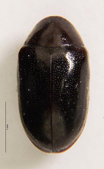 Death-watch beetle of sorts... - Calymmaderus