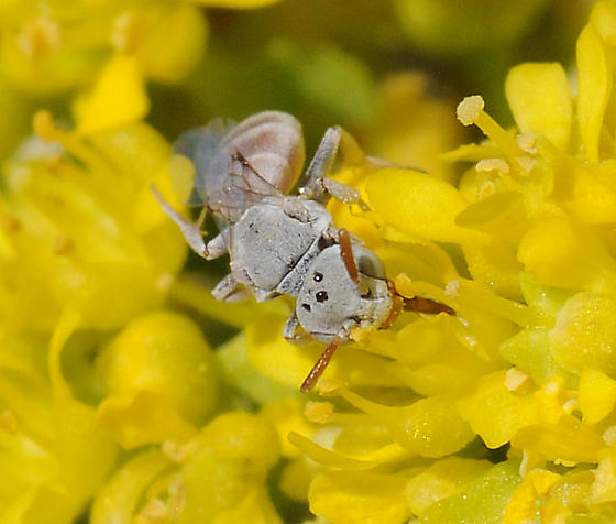 Neolarra - Neolarra californica