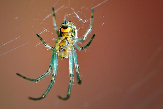 Incredibly Tiny Spider - Leucauge venusta