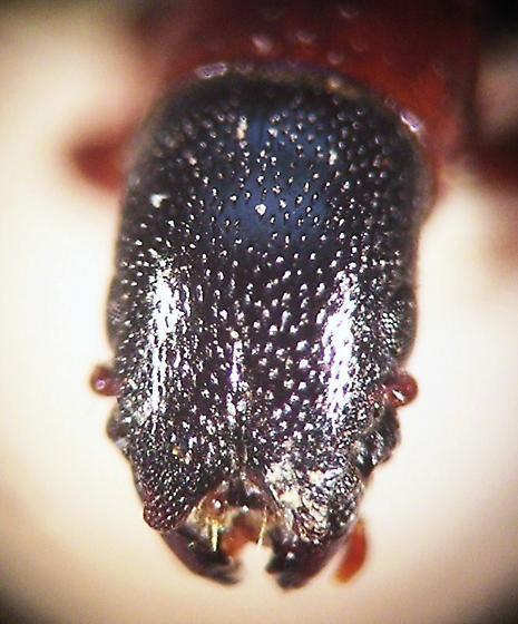 Trogossitidae - Nemozoma fissiceps