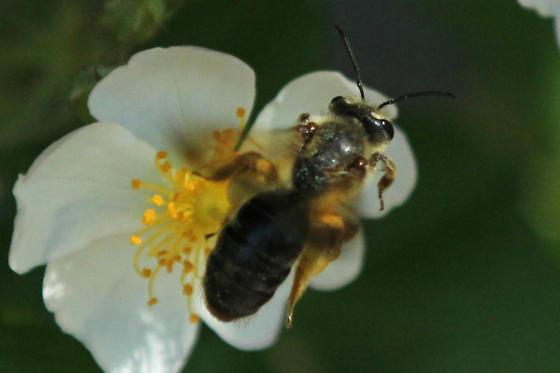 Bombus sp Bee sp - Andrena crataegi