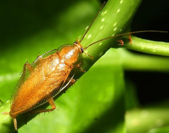 Ectobius pallidus? - Ectobius pallidus - male