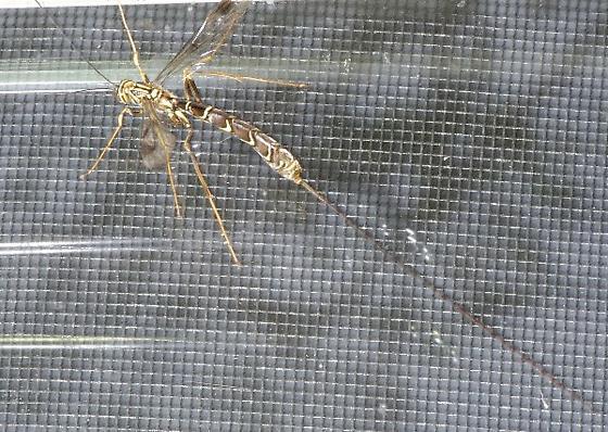 Large Ichneumon  - Megarhyssa macrurus - female