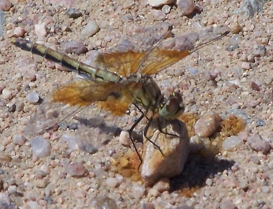 Dragonfly - Sympetrum semicinctum