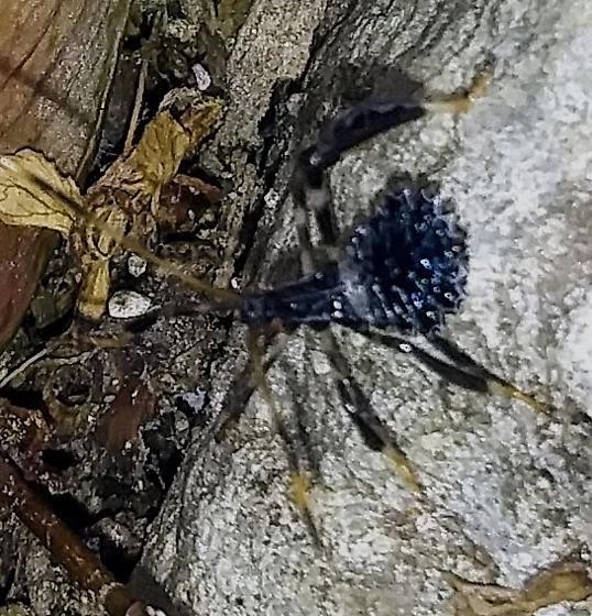 Wheel Bug in NH?