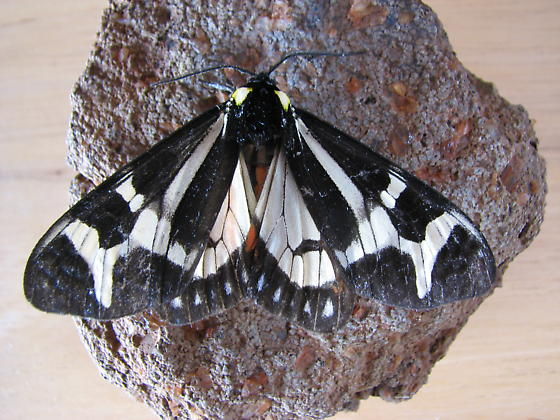sphinx of some kind? - Dysschema howardi
