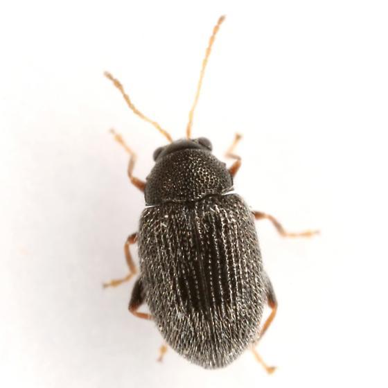 Epitrix fuscula Crotch - Epitrix fuscula