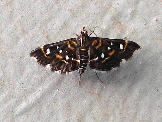 Moth ID? - Diathrausta harlequinalis