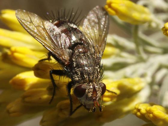 Subgenus Sphyrimyia - Peleteria