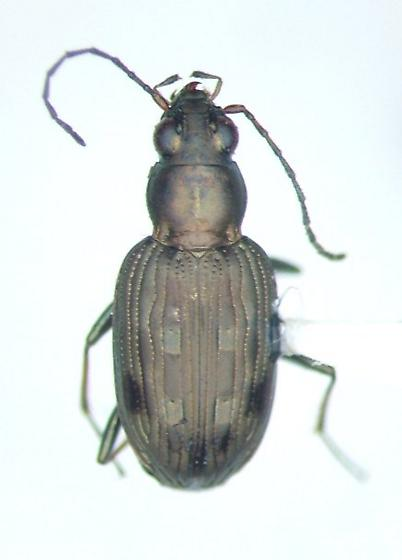 Bembidion inaquale - Bembidion inaequale