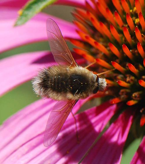 What kind of bee fly? - Anastoechus
