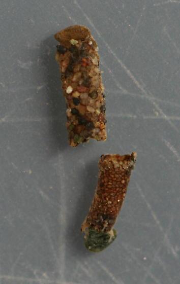 Marilia flexuosa pupa and pupal case - voucher specimen, in alcohol - Marilia flexuosa