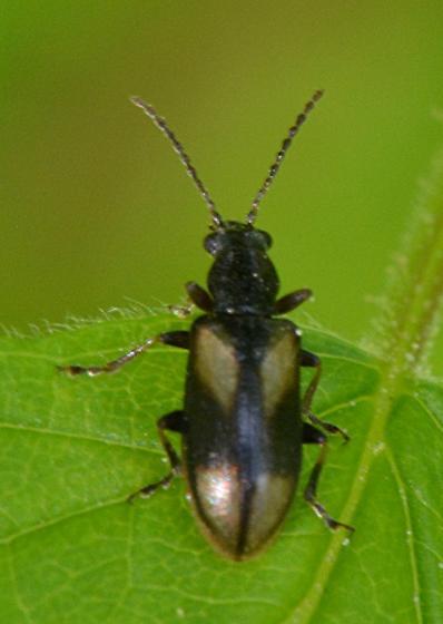 small beetle - Orsodacne atra