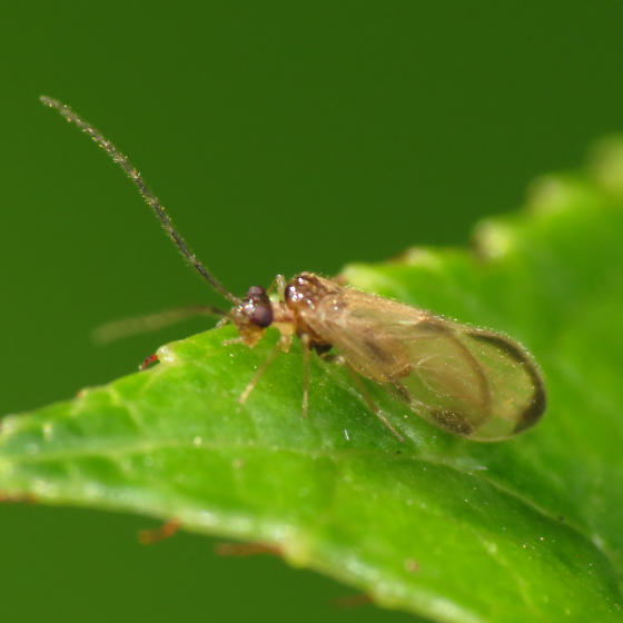 Very light markings on wings... - Polypsocus corruptus