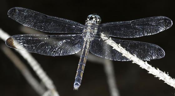 great blue - Libellula vibrans - female