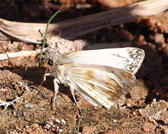 Heliopetes ericetorum - male - Heliopetes ericetorum - male