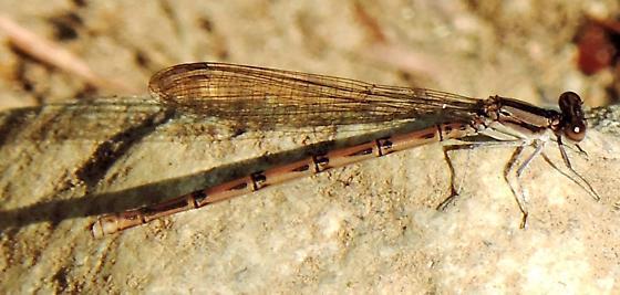 Unidentified damselfly - Argia fumipennis - female