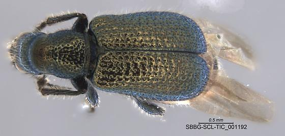 SBBG-SCL-TIC_001192 - Deporaus glastinus