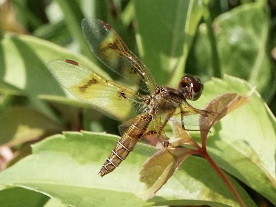 Unidentified insect 0806202002 - Perithemis tenera - female