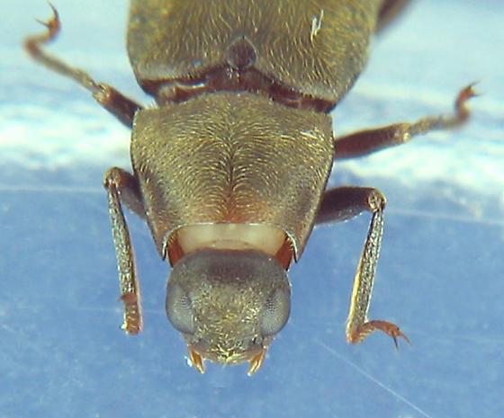 Dryopid beetle - Helichus lithophilus