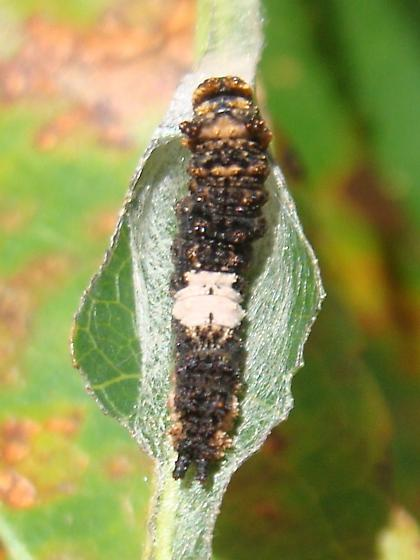 Red-spotted Purple caterpillar - Limenitis arthemis