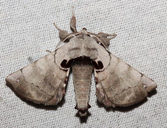 Bombycidae (Silkworm Moth) - Apatelodes torrefacta