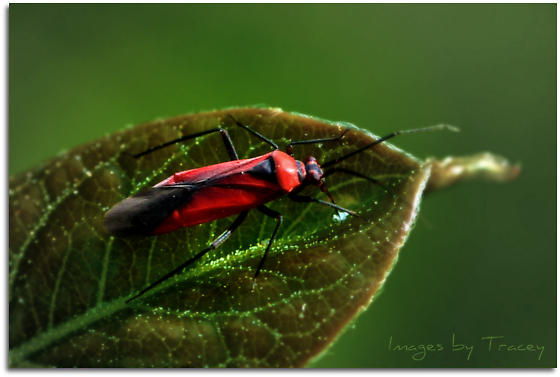 Red Bug with Black Legs - Lopidea