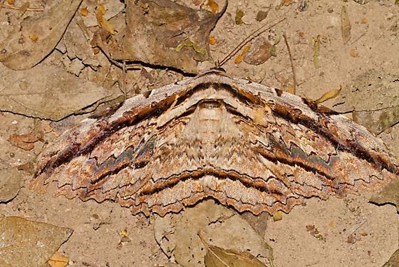 8647 – Owl Moth - Thysania zenobia