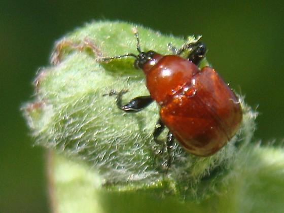 Synolabus nigripes - female