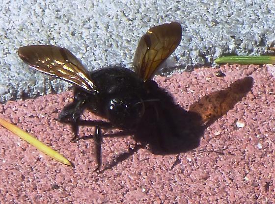 Bee - Xylocopa varipuncta - female