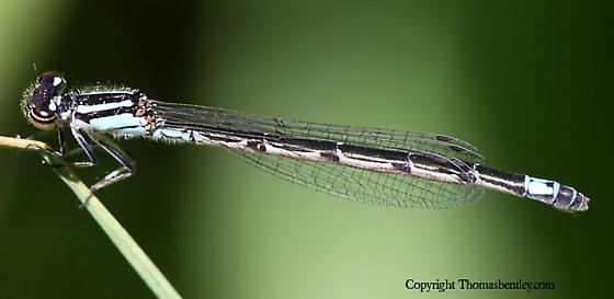 Damselfly - Enallagma geminatum - female