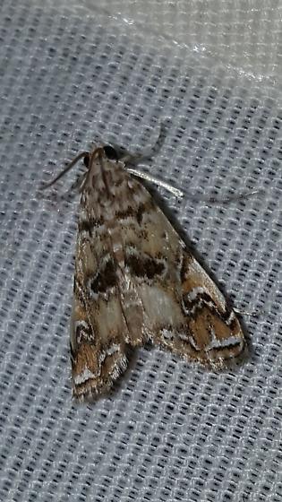 Elophila gyralis – Waterlily Borer Moth - Elophila gyralis