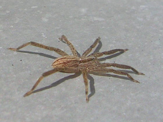 Spider ID Please - Zora pumila