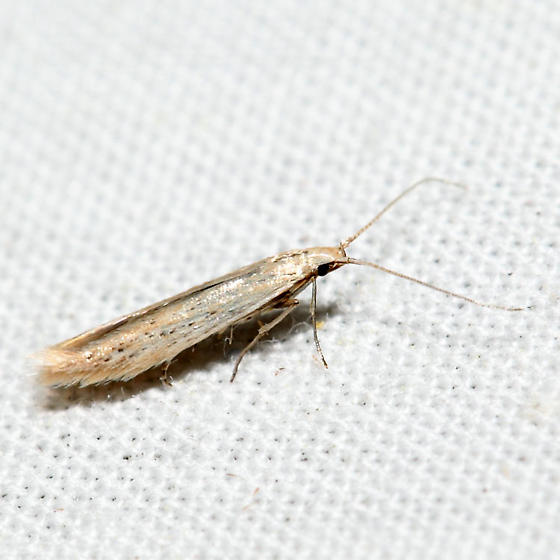 Coleophora fagicorticella - male